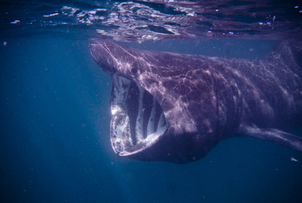 Protected_basking_sharks_migrate_past_the_Isle_of_Man_in_July_1offjBx
